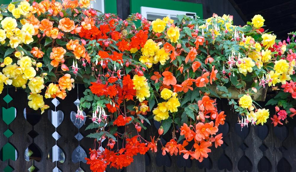Jumbo Begonias