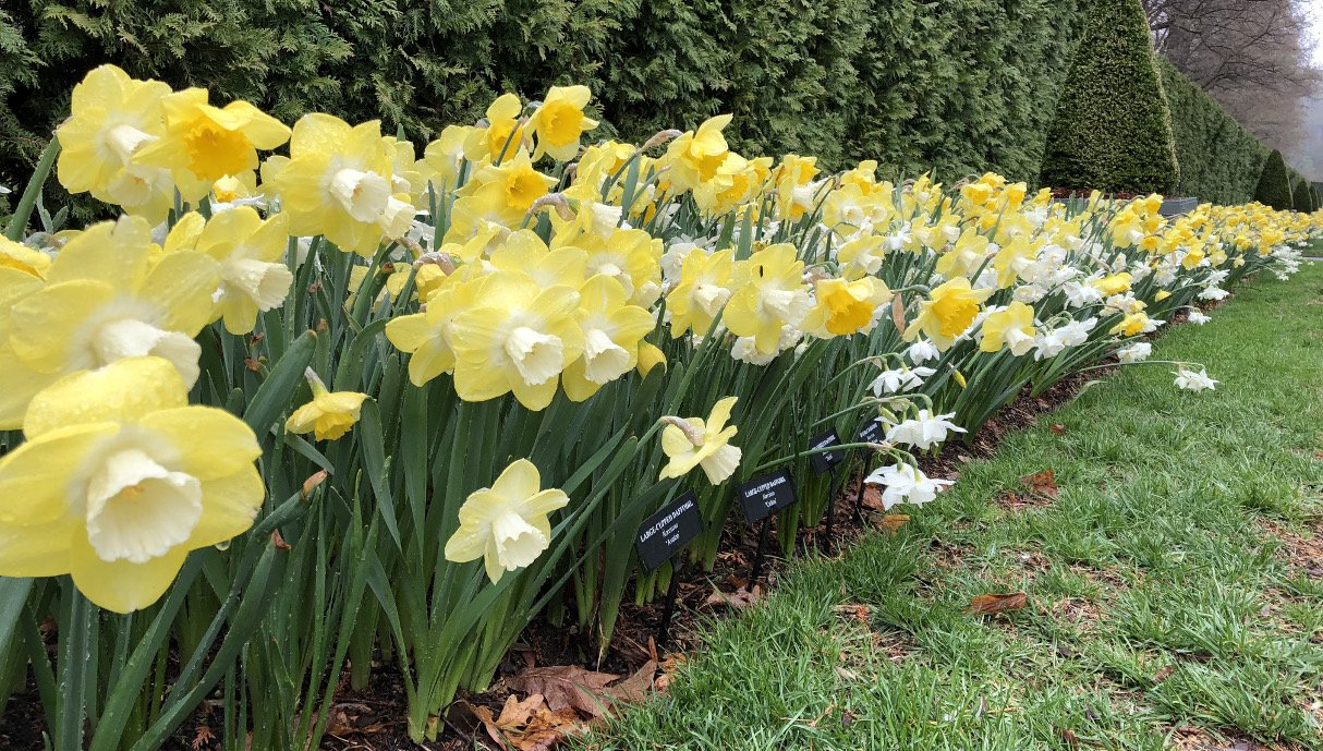 Trumpets of Spring Daffodil Mix