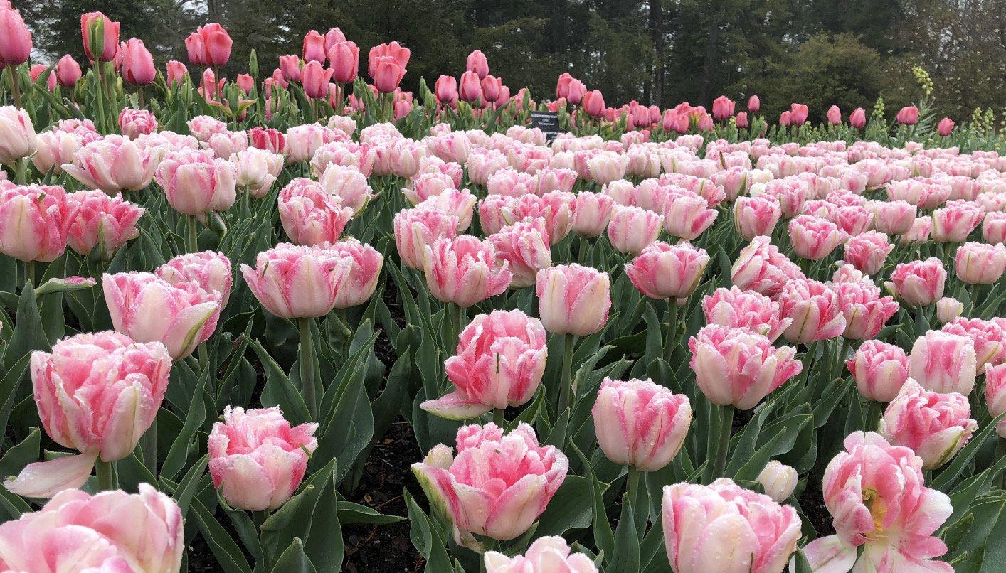 Double Peony Tulips