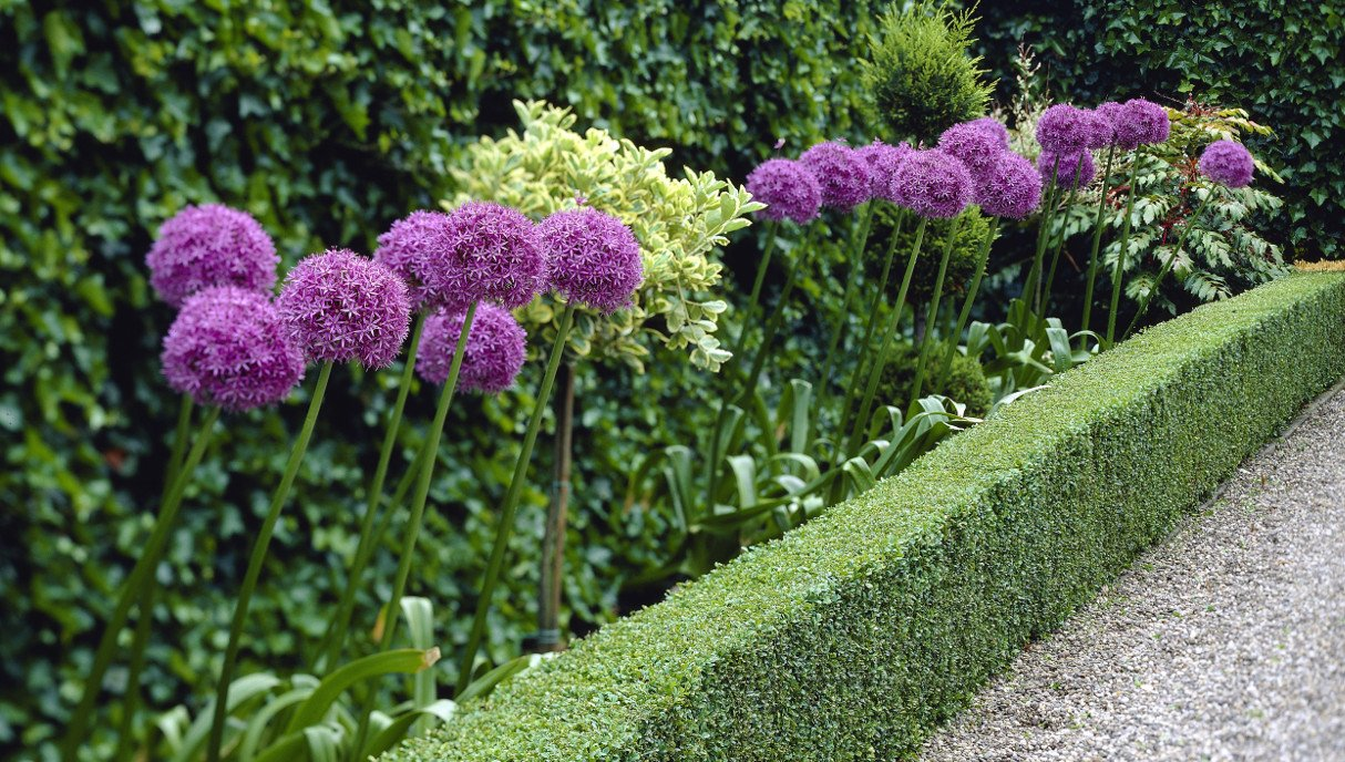 Tall and Huge Allium Giganteum