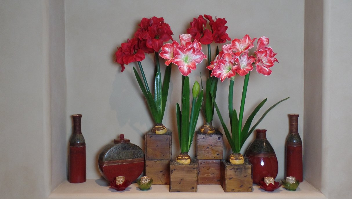 Holiday_Amaryllis