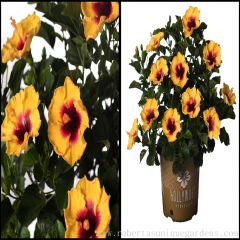Tropical Hollywood™ Hibiscus Choice of Playboy™ (Orange-Red), Rico Suave™ (Gold) or Hot Shot™ (Red)